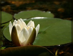 Water Lily (Alicia Lynn) Tags: usa flower nature fauna wisconsin outdoors flora blossom wildlife cluster fox blossoming bud 90mm wi picnik appleton flourishing floweret floret county digitalcameraclub cities macro tamron awesomeblossoms canonrebelxti alicialynncook northamerica gardens 20110610 outagamie