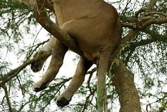 The Rear (Makgobokgobo) Tags: africa mammal lion uganda predator queenelizabeth panthera pantheraleo queenelizabethnationalpark qenp ishasha