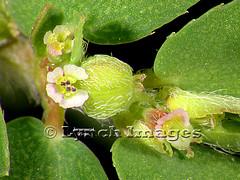 Chamaesyce 1E (Lynch Images) Tags: dicot magnoliophyta angiosperm dicotyledonae magnoliatae