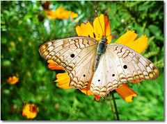 The Book of Tao - Chapter 2 >> White peacock butterfly (Anartia jatrophae) (AnnuskA  - AnnA Theodora) Tags: white green nature colors beautiful amazing interesting bokeh lovely minetoo whitebutterfly yellowcosmos yelloow 3000v120f specinsects 50earthfaves mymostbeautifulbutterflyshotsofarinmyopinion