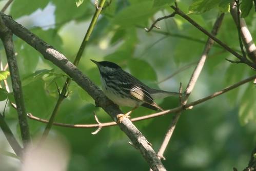 Balckpoll Warbler