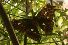 atlas moth secret cloaking device revealed