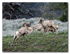 The Stare Down (csnyder103) Tags: horns canyon males staring bighornsheep headbutting posturing