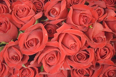 The Meaning of Red Roses: Romance and Love | Growing Together