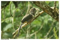 india birds canon grey kerala aves hornbill waynad southindia naturesfinest ocycerosbirostris greyhornbill canon400mm thewesternghats naseerommer canoneos40d malayalikkoottam