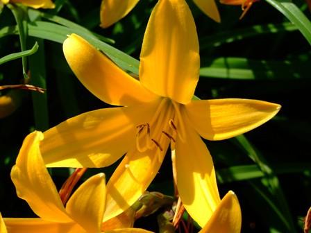 百合の花~黄花