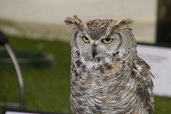 Another owl at The Royal Highland Show, Edinburgh