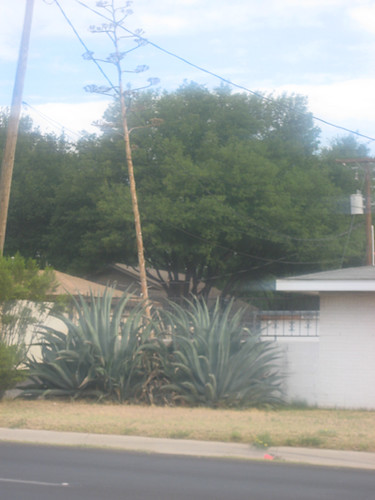 HUGE Agave pic