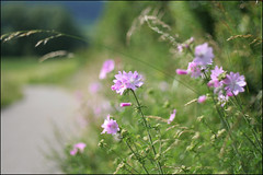 The hissing of summer lawns... (*regina*) Tags: pink flowers summer nature field bokeh lawn wildflowers thechallengegame challengegamewinner