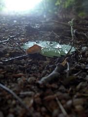 Rainy day (FriaLOve) Tags: finland leaf rainyday ruovesi bej raindropp waterdropp goldstaraward frialove