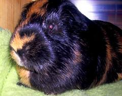 Meerschwein (verwirrtes muschen) Tags: animals deutschland meerschweinchen meerschwein tiere klein natur grn braun bochum ruhrgebiet schwarz schwein schweinchen mnnlich