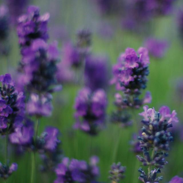 Photo: Common Lavender