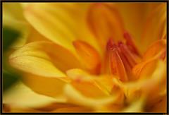 explosion de jaune (Olivier Guetin) Tags: macro fleur jaune naturesfinest flowerotica anawesomeshot ysplix
