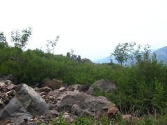 Dans le versant Scaffone : des aulnes, encore des aulnes !