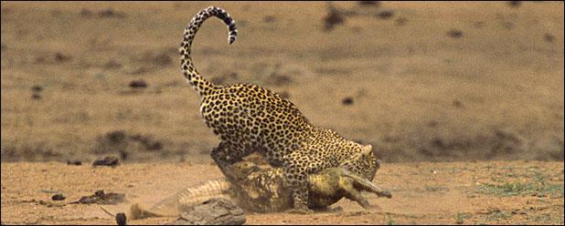 ealeopard118b