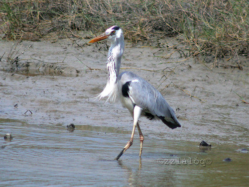 Grey Heron Swallowing Fish 4