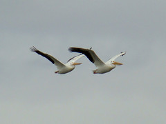 American White Pelican (terrygray) Tags: idaho americanwhitepelican mannlake