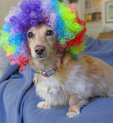 Rainbow Honey (Doxieone) Tags: dog cute english interestingness rainbow long mosaic clown cream dachshund explore sofa honey wig blonde haired 31 coll 1002 longhaired honeydog explored englishcream 422onexplore halloweenfall2008set