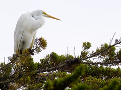 E520 egret (MistyDays / CB) Tags: ocean california wild nature animal animals bay natural pacific wildlife foggy olympus bodega sonomacounty westcoast 50200mm egret bodegabay foggyday imagestabilized 50200 e520