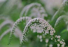Bending (joka2000) Tags: white flower green maneki bandai bending fpc blueribbonwinner lysimachiaclethroides diamondclassphotographer