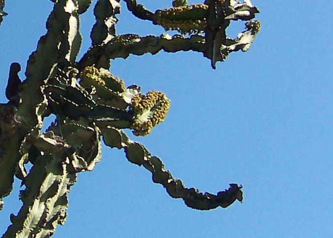Giant cactus flower