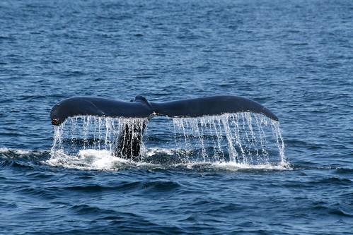 Whale tail fluke 2