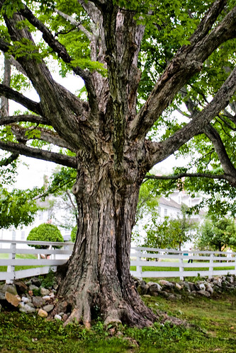 Old Tree At Shaker Village  by you.