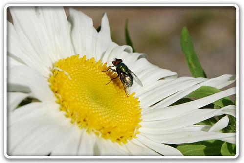 Daisy & Fly