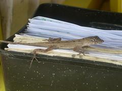Gecko (Jason&Christy) Tags: club jamaica gecko ambience