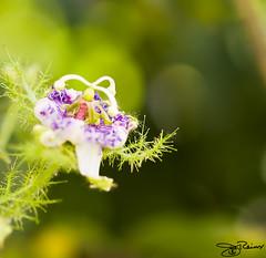 Bokeh Goodness (Jill :] is a Crimson Tide fan!) Tags: flower green cool bush purple bokeh olympus explore passionflower pods e510 zd hbw 50mmmacro20 bokehrama september172008 madeitto273