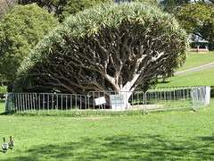 fallen Dragon Blood tree (cskk) Tags: tree gardens garden blood dragon sydney australia fallen nsw botanic draco royalbotanicgardens dracena dragonblood rbgsyd dragonbloodtree dracenadraco