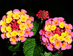 Lantana (Habub3) Tags: park flowers flower macro nature germany garden deutschland photo flora nikon europa europe natur blumen lantana makro garten d300 wandelrschen viewonblack colourartaward globalworldawards habub3