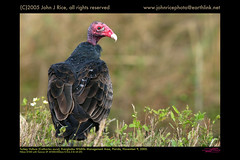 Turkey Vulture (Cathartes aura), Everglades Wildlife Management Area, Florida (johnaturephoto) Tags: 2005 florida nikond100 november9 turkeyvulturecathartesaura tamronspaf200500mmf563dildif evergladeswildlifemanagementarea