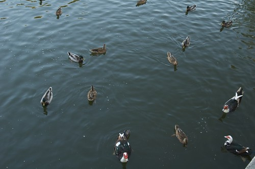 The ducks attack
