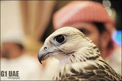 ( Maitha  Bint K) Tags: uae culture traditions falcon g1 arabian falconry   gyr