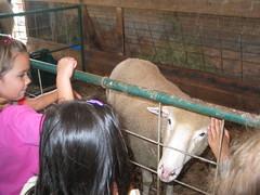 sheep at Smith Family  Farm