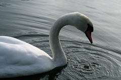Swan Dripping (parvapax) Tags: fall munich nymphenburg schlossnymphenburg