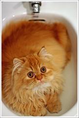 A Luna le molan los bids (xpjt06) Tags: moon animal cat bathroom luna gato gata canon50mmf18 bao luarca persa bid kissablekat xpjt impressedbeauty asturflickers canonistas xpjt06 catnipaddicts