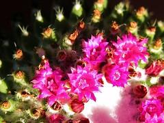 Fiorellini (Il mio nome è Stefano) Tags: cactus verde nikon rosa marche macerata fiorellini corridonia