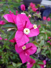 (Lasa Roberta Trojaike) Tags: pink red flower rot nature rose closed natureza flor rosa blumen vermelho fechado excellentsflowers natureselegantshots mimamorflowers flickrflorescloseupmacros panoramafotogrfico