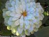 Beautiful Flower Shot (phil_sidenstricker) Tags: white flower macro green floral botanical donotcopy valleyofthesunphoenixmetro olympicpicture upcoming:event=981998 southmountainfarmphoenixazusa