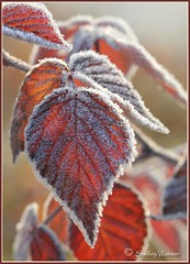 candy coated hearts? (shellsnaps) Tags: red fall frost foliage heartshaped hfg thisisexcellent vosplusbellesphotos