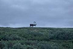 Denali National Park, Alaska (tumitaittuq) Tags: usa nature animal alaska landscape denali mckinley paysage caribou animaux nationalparc faune tatsunis anumal