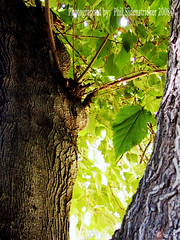 Tree texture and leaves (phil_sidenstricker) Tags: tree green fall nature leaves yellow perspective donotcopy valleyofthesunphoenixmetro upcoming:event=981998 southmountainfarmphoenixazusa