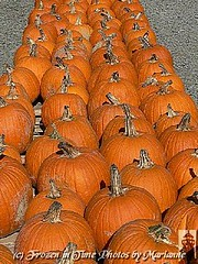 P2110147 PUMPKIN LINE UP.....HAPPY FALL (Frozen in Time photos by Marianne AWAY OFF/ON) Tags: orange halloween holidays zoom pumpkins farms friends~ flickrfarm nationalgeographicwannabes faithfulflickrfriends nationalgeographicareyougoodenough flickrforeveryone heartawards unlimitedphotosnorules ilovemypics bestofcelebratingautumn2008galleryonfriends dragonflyfarms nationalgeographiswannabes