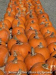 P2110147 PUMPKIN LINE UP.....HAPPY FALL (Frozen in Time photos by Marianne AWAY OFF/ON) Tags: orange halloween holidays zoom pumpkins farms friends~ flickrfarm nationalgeographicwannabes faithfulflickrfriends nationalgeographicareyougoodenough flickrforeveryone heartawards unlimitedphotosnorules ilovemypics bestofcelebratingautumn2008galleryonfriends dragonflyfarms nationalgeographiswannabes