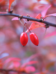 Japanese barberry (Abizeleth) Tags: pink red plant leaves ouch berry branch berries thorns painful barberry invasivespecies berberis twoofakind bigmomma japanesebarberry berberisthunbergii redonred photofaceoffplatinum pfogold pfoplatinum