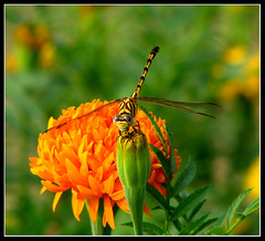 YellowDragonfly (Midhun Manmadhan) Tags: dragonfly