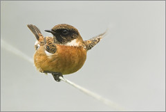 Bird on a wire (hvhe1) Tags: bird nature animal terschelling bravo searchthebest wildlife interestingness1 stonechat roodborsttapuit birdpix specanimal animalkingdomelite hvhe1 hennievanheerden vosplusbellesphotos