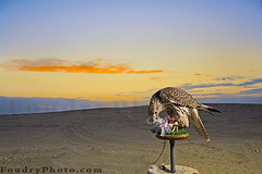 Falcon (A.alFoudry) Tags: lighting blue light sunset orange cloud bird look clouds danger dinner umbrella canon eos persian sand dusk eating flash hunting feather free super arabic full eat busy meal frame falcon 5d hunter hungry prey feed kuwait usm fullframe 2008 canonef2470mmf28lusm ef 580ex hunt  kuwaiti strobe transmitter q8 hunted abdullah flashes  2470mm preys speedlite  canoneos5d  f28l kuw ste2 q80 farsy strobistcom strobist xnuzha alfoudry  abdullahalfoudry foudryphotocom superfalcon  persianbird persianfalcon